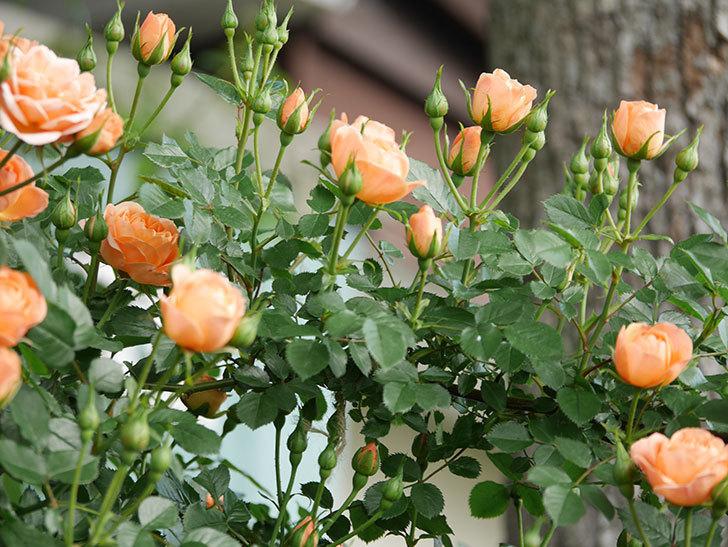 スイートドリーム(Sweet Dream)の花がたくさん咲いた。ツルバラ。2021年-019.jpg