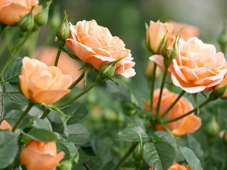 スイートドリーム(Sweet Dream)の花がたくさん咲いた。ツルバラ。2021年-021.jpg