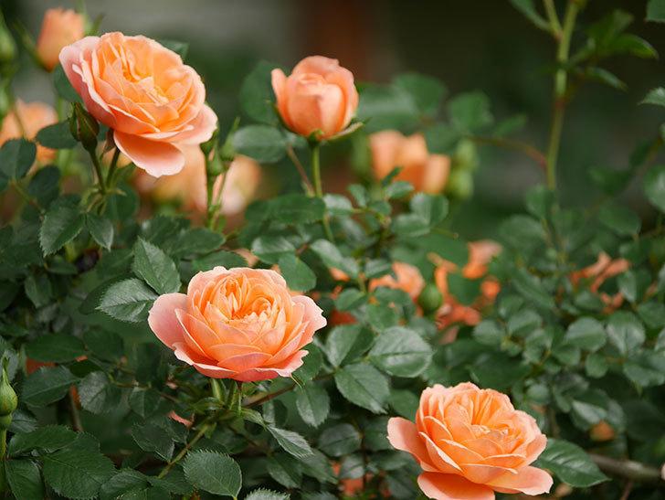スイートドリーム(Sweet Dream)の花がたくさん咲いた。ツルバラ。2021年-022.jpg