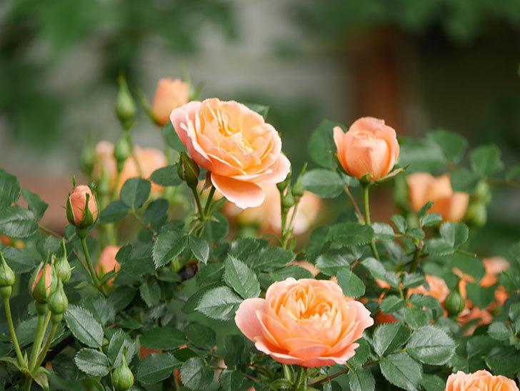 スイートドリーム(Sweet Dream)の花がたくさん咲いた。ツルバラ。2021年-023.jpg