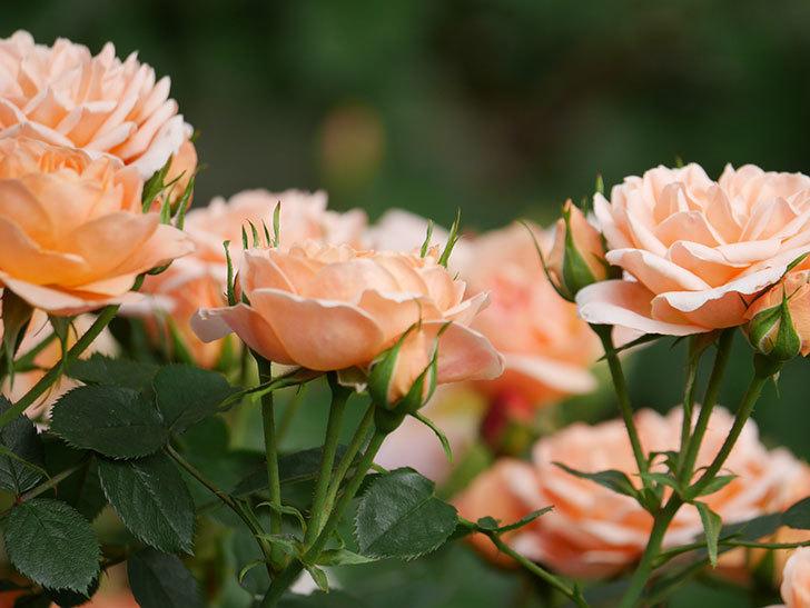 スイートドリーム(Sweet Dream)の花がたくさん咲いた。ツルバラ。2021年-024.jpg