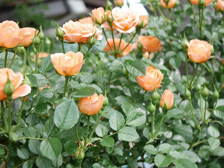 スイートドリーム(Sweet Dream)の花がたくさん咲いた。ツルバラ。2021年-025.jpg