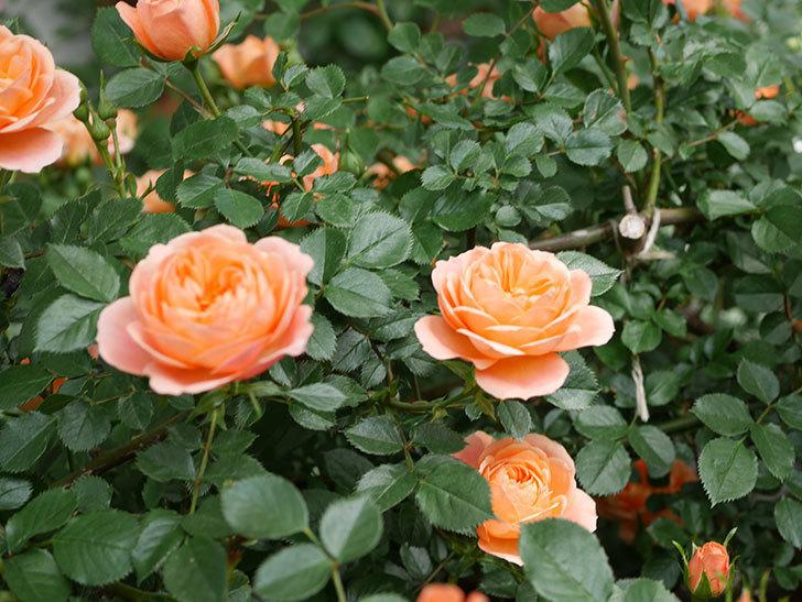 スイートドリーム(Sweet Dream)の花がたくさん咲いた。ツルバラ。2021年-026.jpg