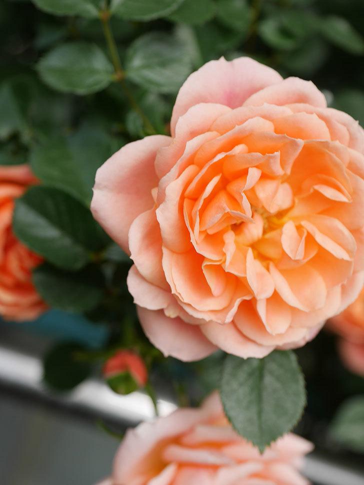 スイートドリーム(Sweet Dream)の花がたくさん咲いた。ツルバラ。2021年-027.jpg