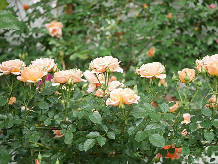 スイートドリーム(Sweet Dream)の花がたくさん咲いた。ツルバラ。2021年-028.jpg