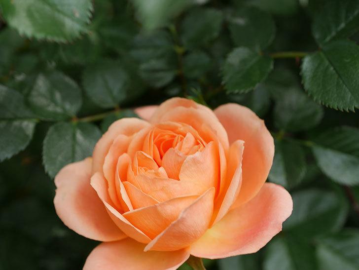 スイートドリーム(Sweet Dream)の花がたくさん咲いた。ツルバラ。2021年-029.jpg