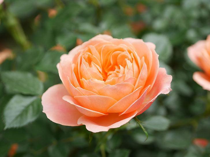 スイートドリーム(Sweet Dream)の花がたくさん咲いた。ツルバラ。2021年-030.jpg