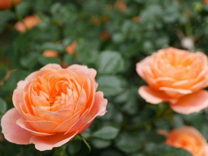 スイートドリーム(Sweet Dream)の花がたくさん咲いた。ツルバラ。2021年-031.jpg