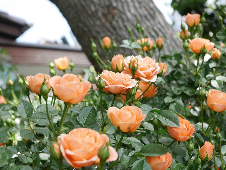 スイートドリーム(Sweet Dream)の花がたくさん咲いた。ツルバラ。2021年-033.jpg