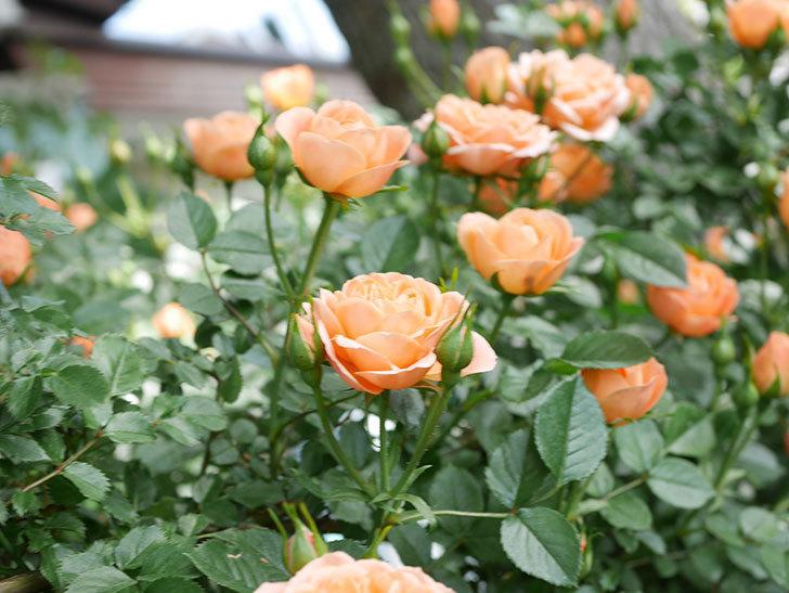 スイートドリーム(Sweet Dream)の花がたくさん咲いた。ツルバラ。2021年-034.jpg