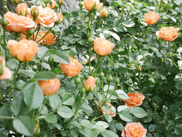 スイートドリーム(Sweet Dream)の花がたくさん咲いた。ツルバラ。2021年-035.jpg