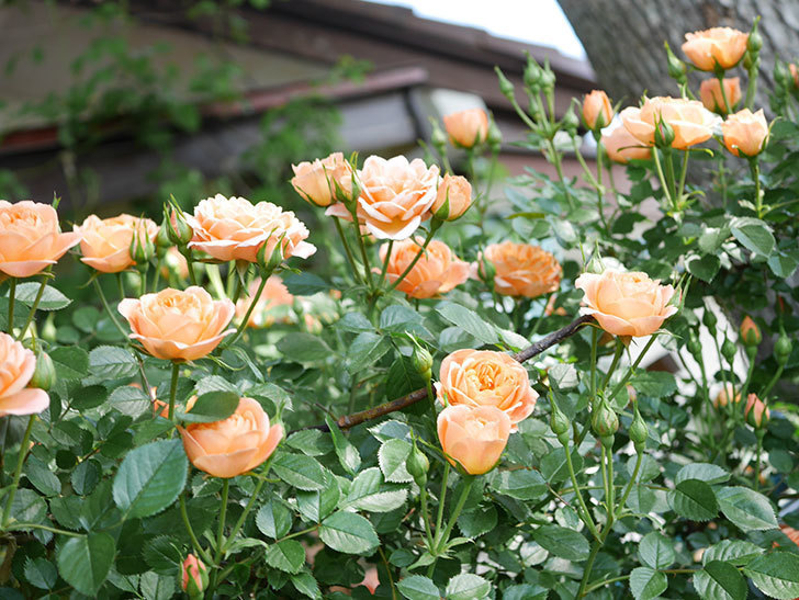 スイートドリーム(Sweet Dream)の花がたくさん咲いた。ツルバラ。2021年-036.jpg