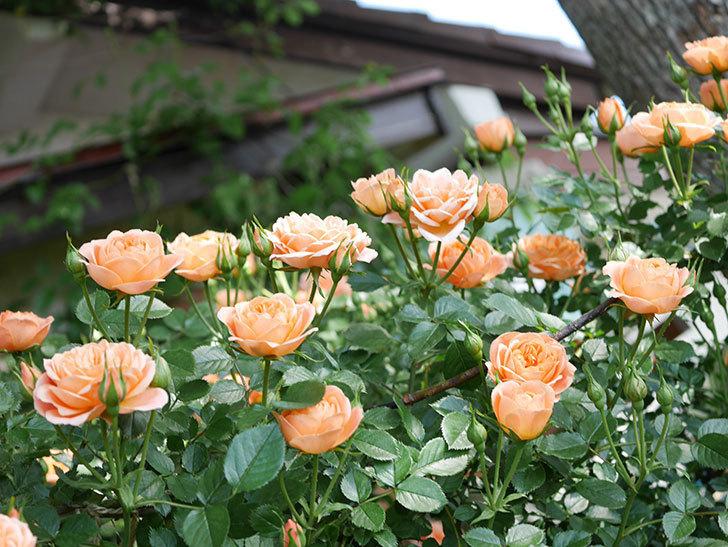 スイートドリーム(Sweet Dream)の花がたくさん咲いた。ツルバラ。2021年-037.jpg