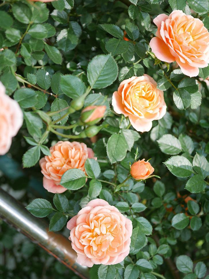 スイートドリーム(Sweet Dream)の花がたくさん咲いた。ツルバラ。2021年-038.jpg