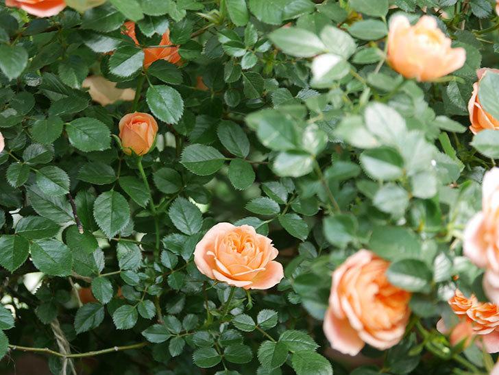スイートドリーム(Sweet Dream)の花がたくさん咲いた。ツルバラ。2021年-039.jpg