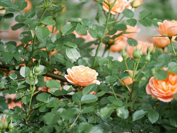 スイートドリーム(Sweet Dream)の花がたくさん咲いた。ツルバラ。2021年-040.jpg