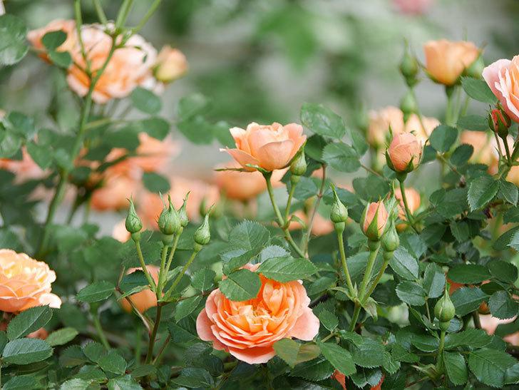 スイートドリーム(Sweet Dream)の花がたくさん咲いた。ツルバラ。2021年-041.jpg