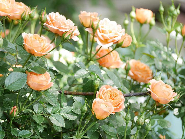 スイートドリーム(Sweet Dream)の花がたくさん咲いた。ツルバラ。2021年-042.jpg