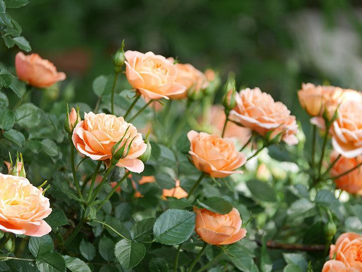 スイートドリーム(Sweet Dream)の花がたくさん咲いた。ツルバラ。2021年-043.jpg