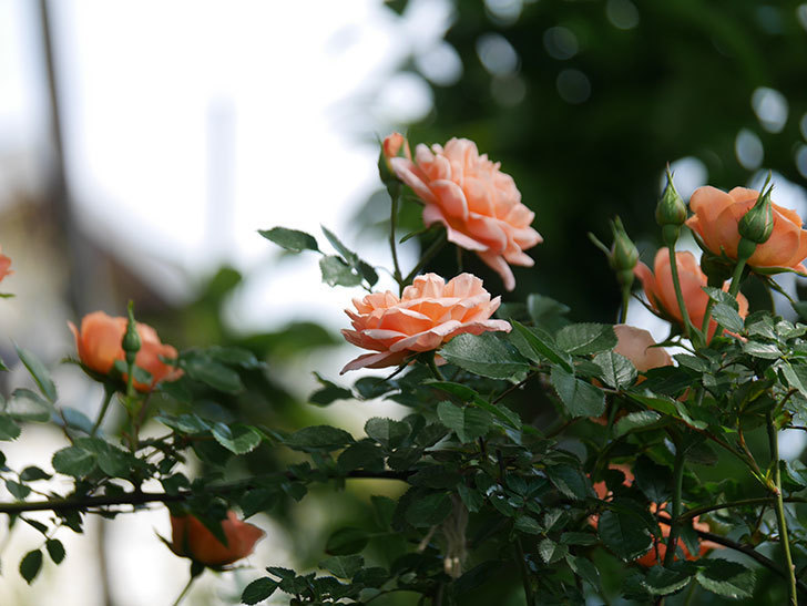 スイートドリーム(Sweet Dream)の花がたくさん咲いた。ツルバラ。2021年-044.jpg