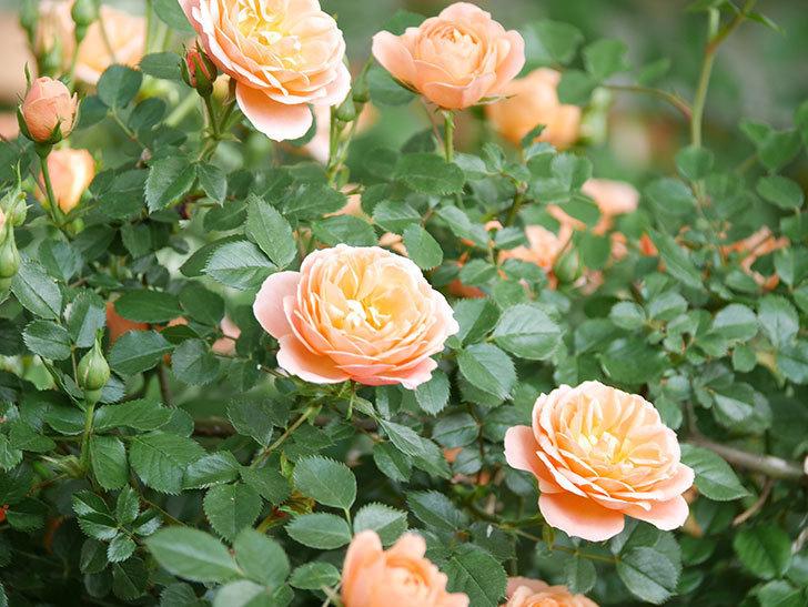 スイートドリーム(Sweet Dream)の花がたくさん咲いた。ツルバラ。2021年-045.jpg