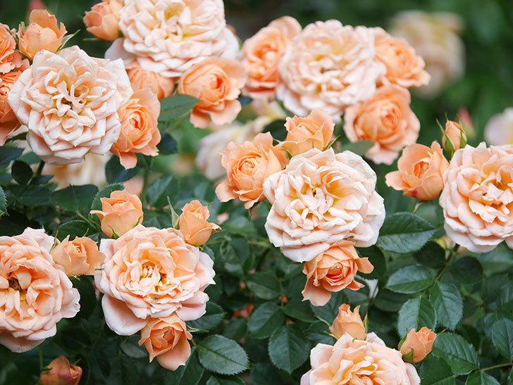スイートドリーム(Sweet Dream)の花がたくさん咲いた。ツルバラ。2021年-046.jpg