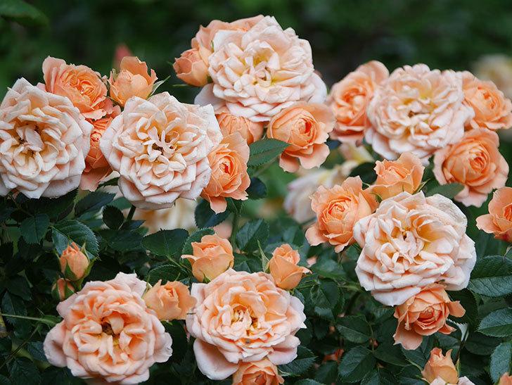 スイートドリーム(Sweet Dream)の花がたくさん咲いた。ツルバラ。2021年-047.jpg