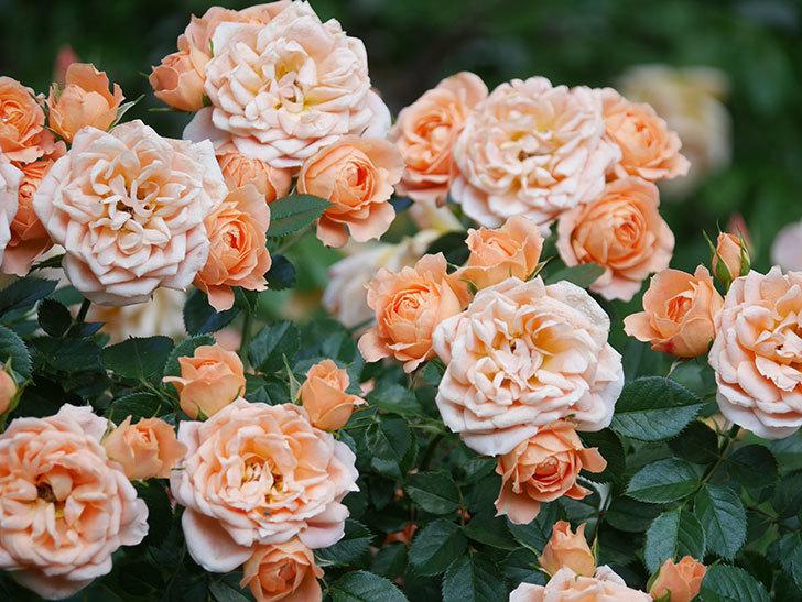 スイートドリーム(Sweet Dream)の花がたくさん咲いた。ツルバラ。2021年-048.jpg