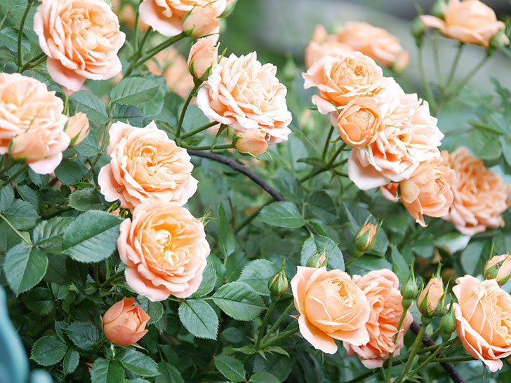 スイートドリーム(Sweet Dream)の花がたくさん咲いた。ツルバラ。2021年-050.jpg