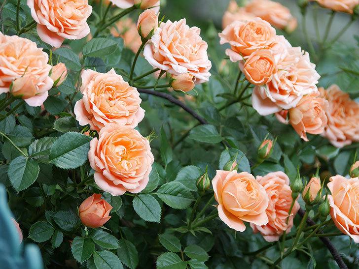 スイートドリーム(Sweet Dream)の花がたくさん咲いた。ツルバラ。2021年-051.jpg