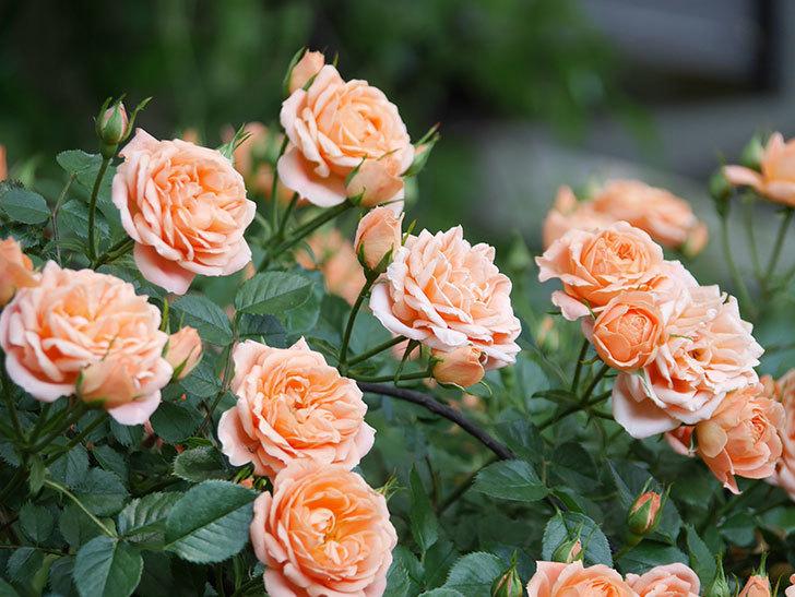 スイートドリーム(Sweet Dream)の花がたくさん咲いた。ツルバラ。2021年-052.jpg