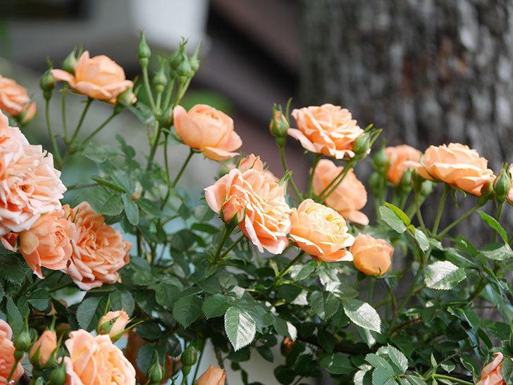 スイートドリーム(Sweet Dream)の花がたくさん咲いた。ツルバラ。2021年-054.jpg