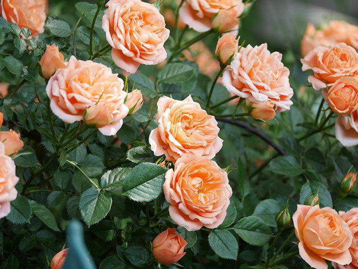 スイートドリーム(Sweet Dream)の花がたくさん咲いた。ツルバラ。2021年-055.jpg