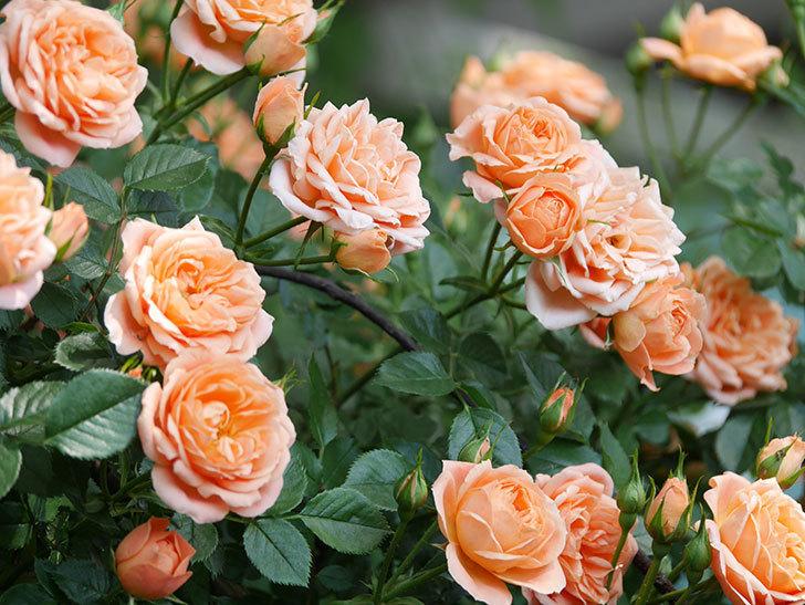 スイートドリーム(Sweet Dream)の花がたくさん咲いた。ツルバラ。2021年-056.jpg