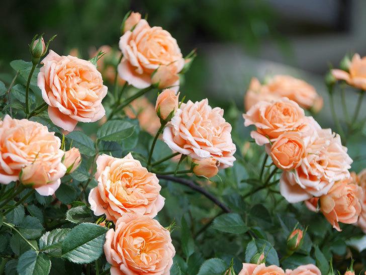 スイートドリーム(Sweet Dream)の花がたくさん咲いた。ツルバラ。2021年-057.jpg