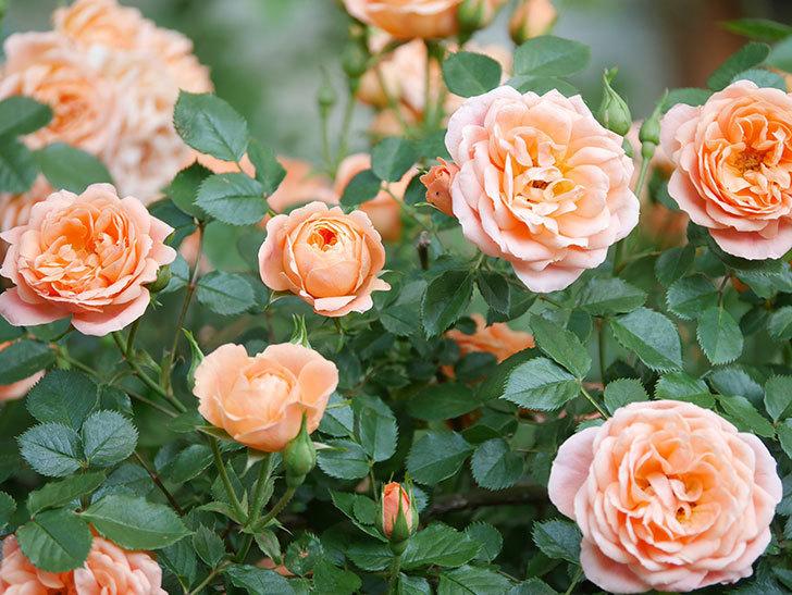 スイートドリーム(Sweet Dream)の花がたくさん咲いた。ツルバラ。2021年-058.jpg