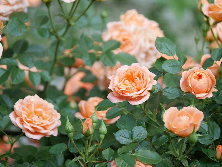 スイートドリーム(Sweet Dream)の花がたくさん咲いた。ツルバラ。2021年-059.jpg