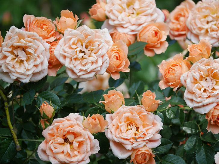 スイートドリーム(Sweet Dream)の花がたくさん咲いた。ツルバラ。2021年-060.jpg