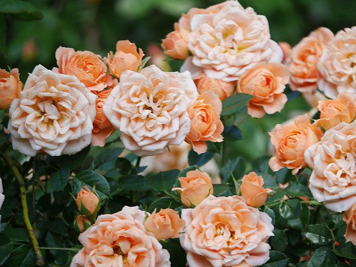 スイートドリーム(Sweet Dream)の花がたくさん咲いた。ツルバラ。2021年-061.jpg