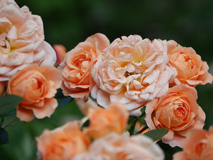 スイートドリーム(Sweet Dream)の花がたくさん咲いた。ツルバラ。2021年-063.jpg