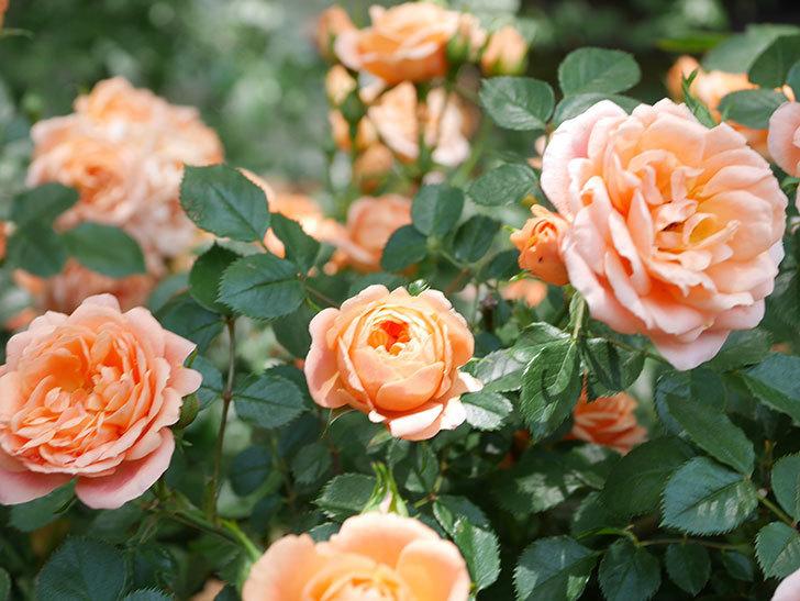 スイートドリーム(Sweet Dream)の花がたくさん咲いた。ツルバラ。2021年-065.jpg