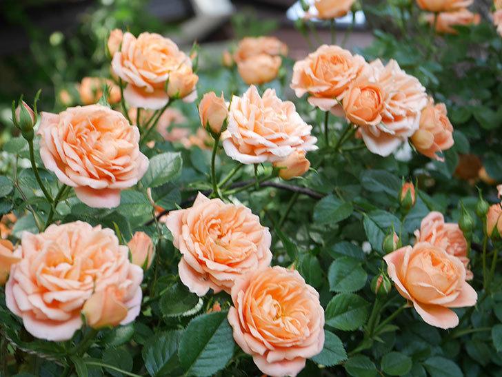 スイートドリーム(Sweet Dream)の花がたくさん咲いた。ツルバラ。2021年-066.jpg