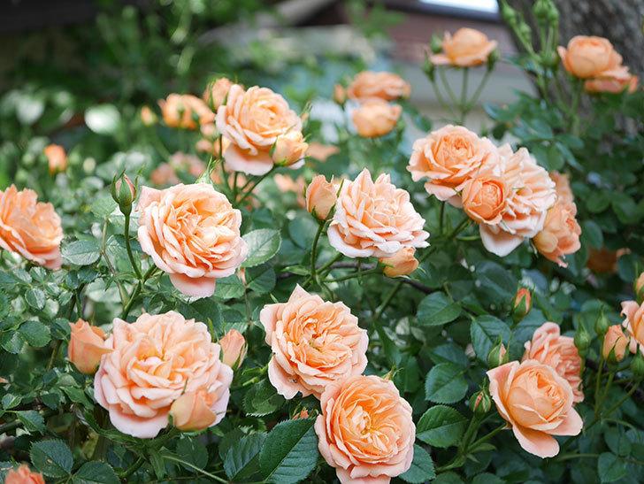 スイートドリーム(Sweet Dream)の花がたくさん咲いた。ツルバラ。2021年-067.jpg