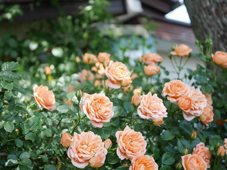 スイートドリーム(Sweet Dream)の花がたくさん咲いた。ツルバラ。2021年-068.jpg