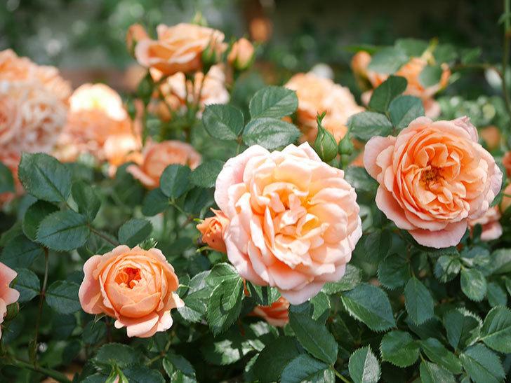 スイートドリーム(Sweet Dream)の花がたくさん咲いた。ツルバラ。2021年-069.jpg