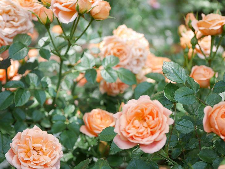 スイートドリーム(Sweet Dream)の花がたくさん咲いた。ツルバラ。2021年-070.jpg