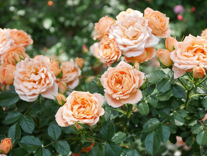 スイートドリーム(Sweet Dream)の花がたくさん咲いた。ツルバラ。2021年-071.jpg