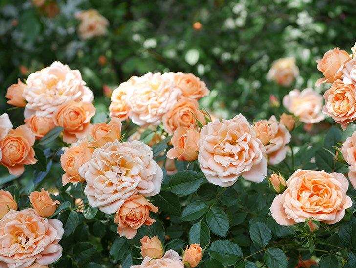 スイートドリーム(Sweet Dream)の花がたくさん咲いた。ツルバラ。2021年-072.jpg
