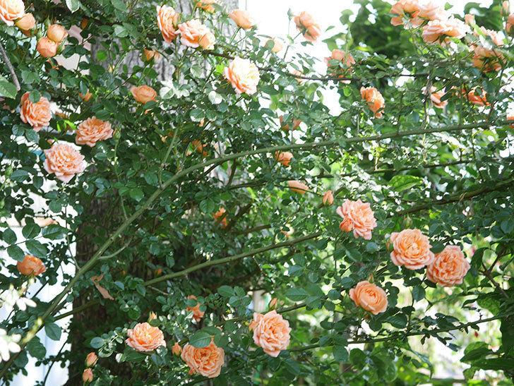 スイートドリーム(Sweet Dream)の花がたくさん咲いた。ツルバラ。2021年-074.jpg