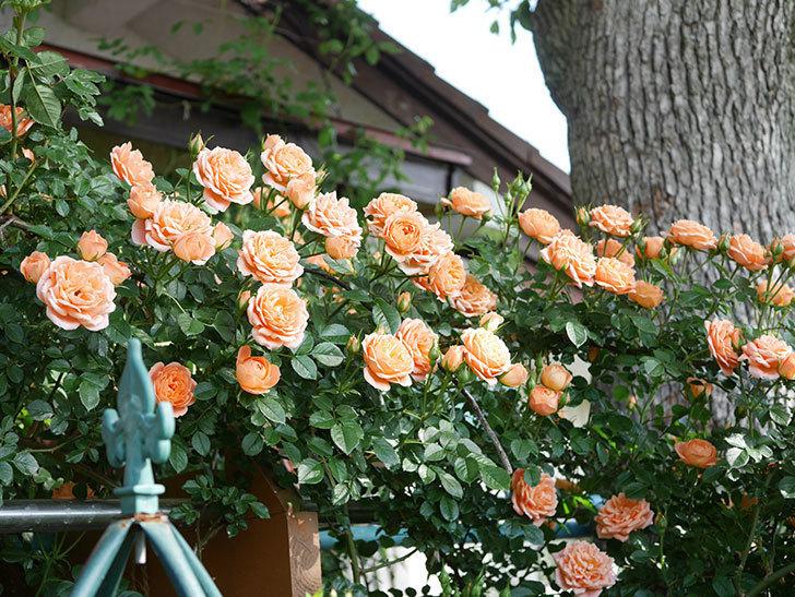 スイートドリーム(Sweet Dream)の花がたくさん咲いた。ツルバラ。2021年-075.jpg
